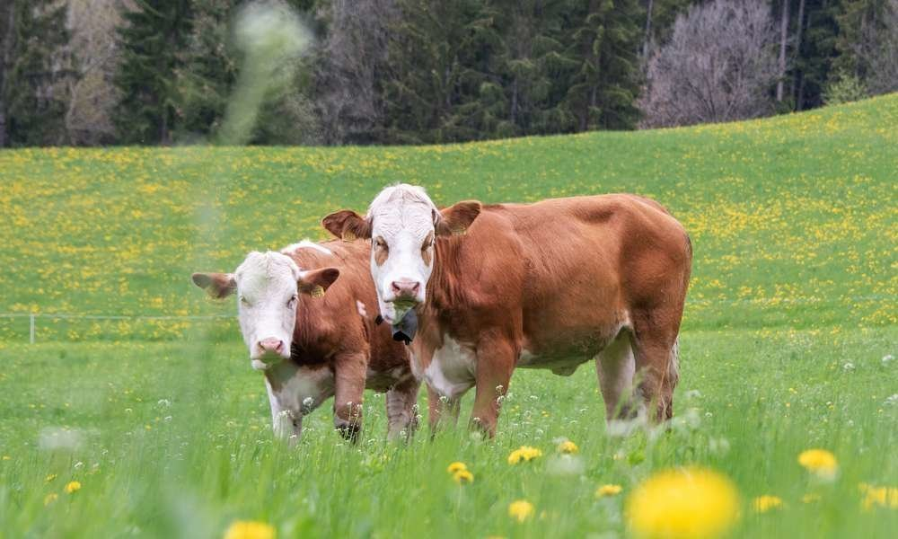 animali-dall'agricola-oberglarzhof-villnoess (1)